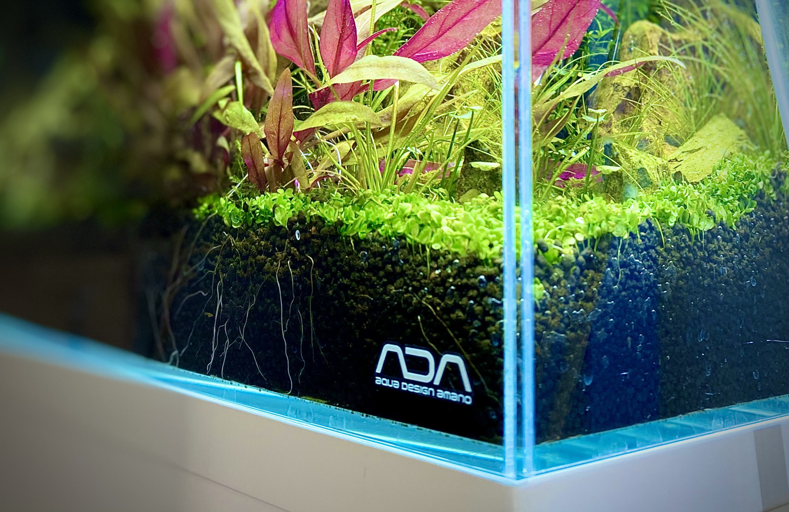 How to Make a Carpet in Your Tank with Micanthemum sp.